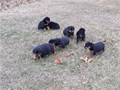 cute and adorable male and female Rottweiler puppies available for sales puppies have head their fi