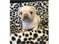 Pure Pug Puppies For SaleI have a litter of 3 pups 2 girls and 1 boys Mum and dad are family pe