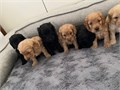 Marvelous Cockapoo Puppies now available for their immediate home so you can text us at 209 500-15