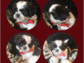 Black  white male shih tzu is puppy from a small hobby breeder  I breed for temperament health b