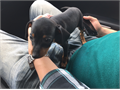 I have an 8 week old male Miniature Pinscher puppy He has all of his shots and is completely health