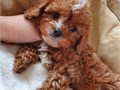 Adorable cavapoo boy very healthy vet checked and goes along well with kids and