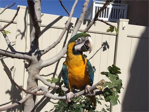2.5 y/o Harligold Macaw