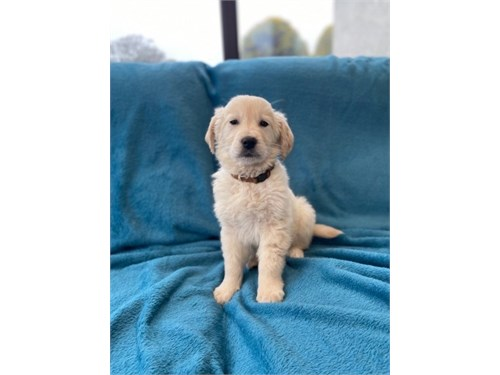 ??golden retriever pups**