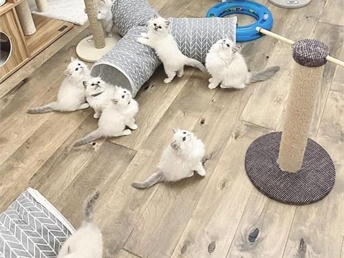 Available Ragdoll kitten