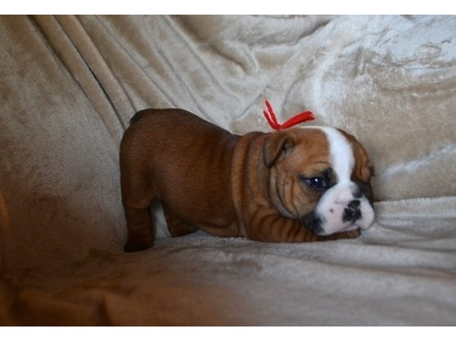 Lucia English Bulldog Pup