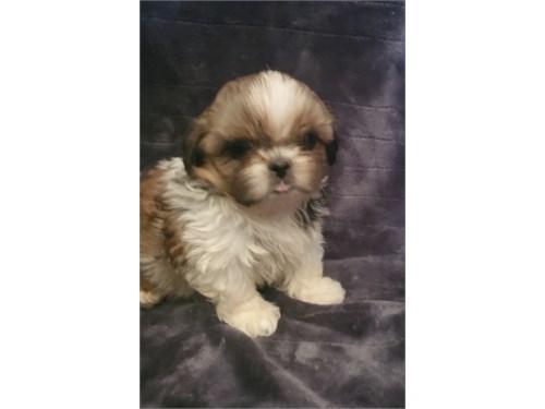 Shih Tzu Puppy -Female