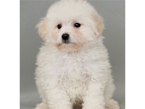 Lovely Shichon puppies
