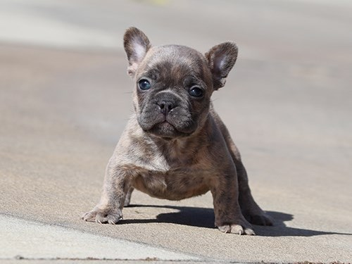 AKC Blue French Bulldog