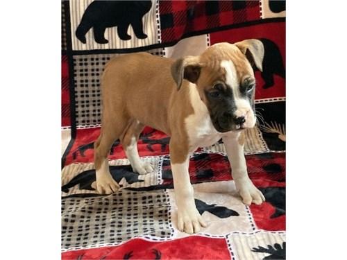 Halbarl Boxer puppies