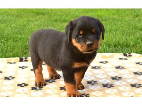 Rottweiler pup's
