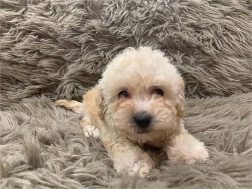 Cute puppy's maltipoo
