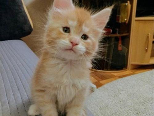 Cute maincoob kitten