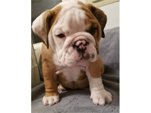 English Bulldog Pups$$