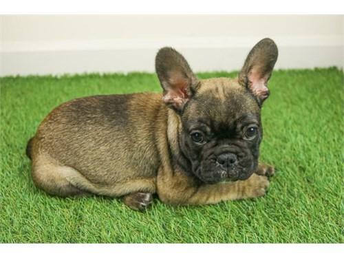 Sable French Bulldog