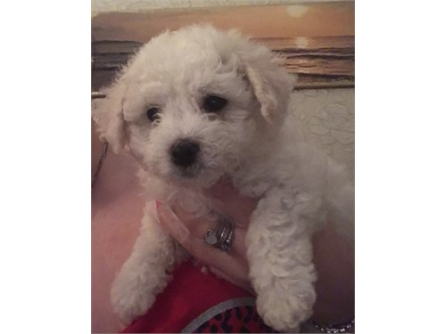 Cute Bichon Frise Puppies