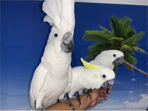 Hand-Tame Cockatoos