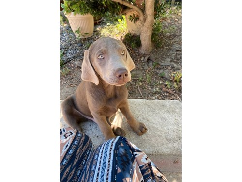 Silver AKC Labrador Puppy