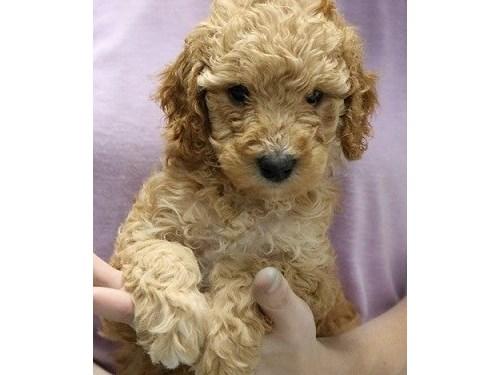 Mini GoldenDoodle Pups