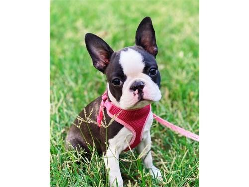 Buy Cute Boston Terriers
