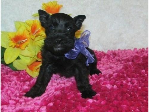 Miniature Schnauzer Pups$