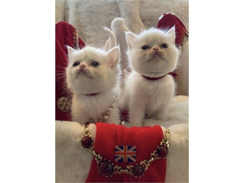 Royal British Kittens