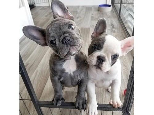 Akc French Bulldog Pups
