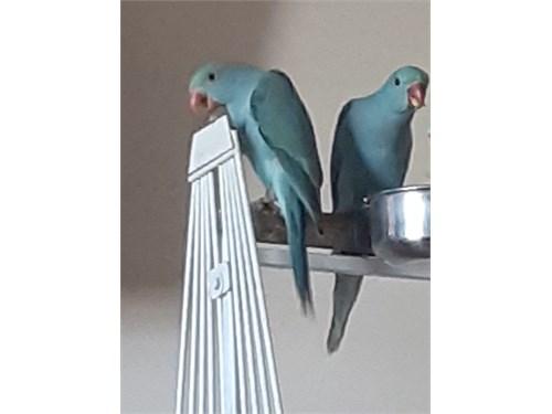 Ringneck birds semi tame