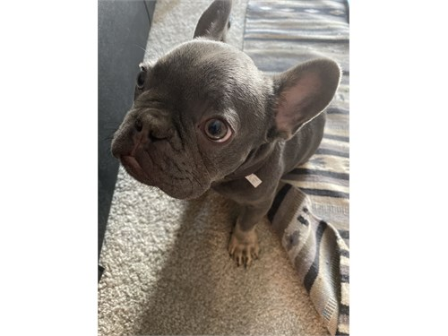 Lilac/Tan Frenchie Puppy