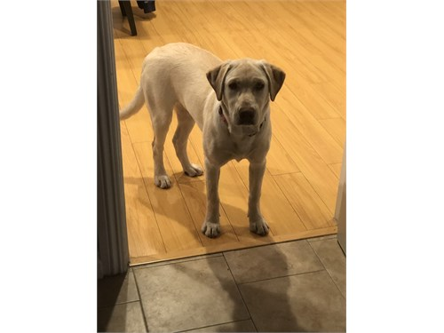 7 Month Old Female Lab
