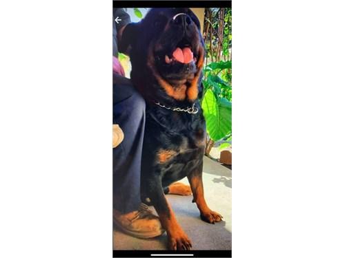 XLarge bone Rottweiler