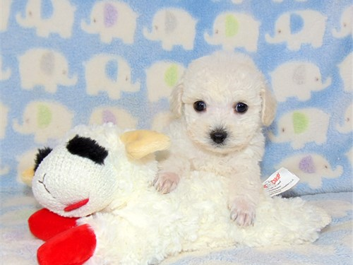 Poodle/toy-male