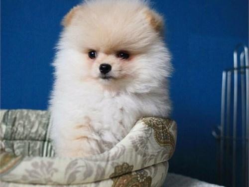 AKC Pomeranian pups