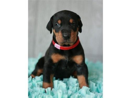 LK Doberman Pinscher Pupp