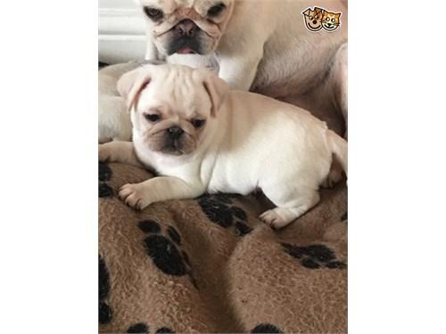 +Top Quality F/M PUG pups