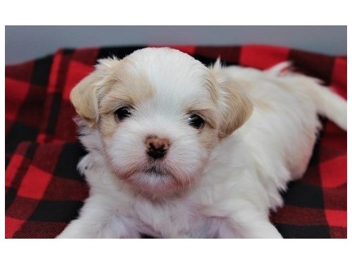 shih tzu puppies up for a