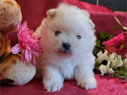 Pomeranian White Girls