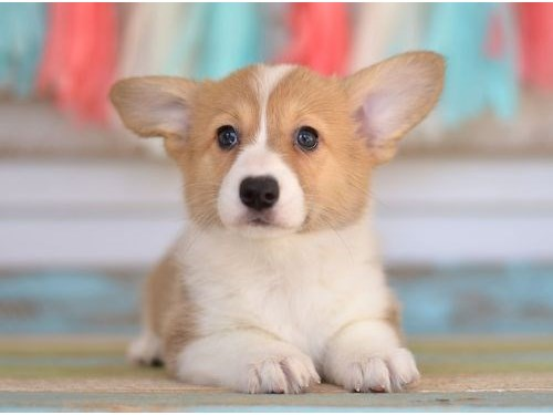Pembroke welsh corgi pups