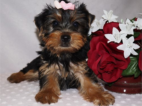 Yorkie girl Riley