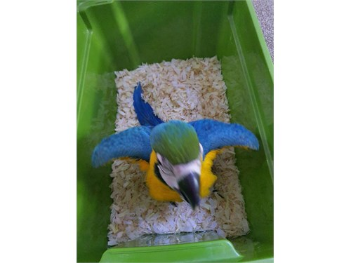 Blue And Gold Macaw Parot