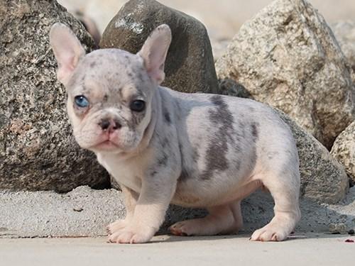 AKC Blue French Bulldog