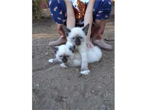 brave Ragdoll kittens