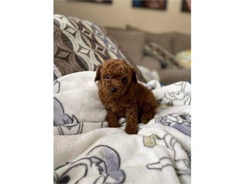 Toy Poo-dles Puppies