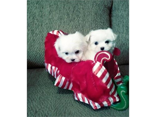 H-Ñ Maltese pups For sale