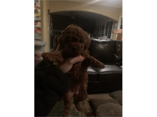 2girls red poodle