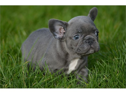 Ready Frenchie Pups