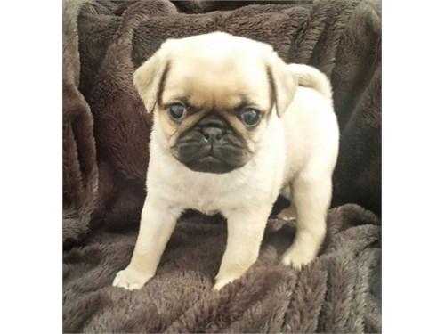 stunned fanw/pug pups