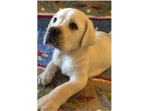 Akc gorgeous labrador pup