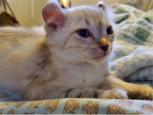 3 Highlander Kittens 2 g