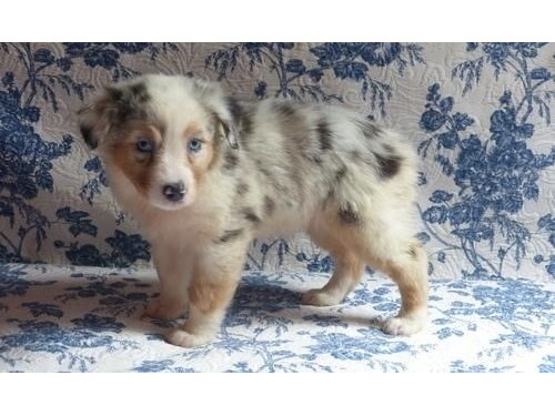 Aussie pups available